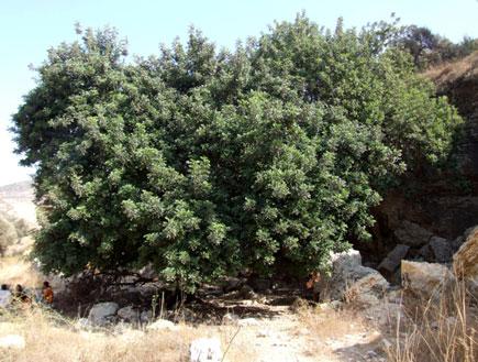 טיולים בהרי ירושלים: עץ החרוב בנחל כפירה (צילום: ערן גל-אור)