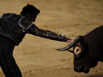 מלחמת שוורים (צילום: AP)