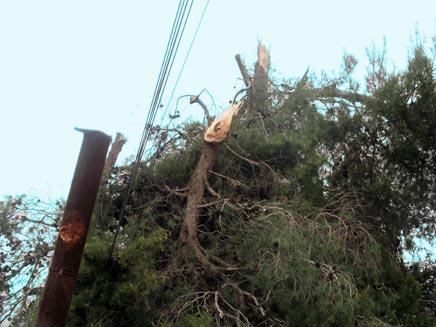 עץ שקרס  על כבלי חברת החשמל (אירית ברמן) (צילום: אירית ברמן - חדשות 2)