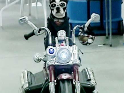 הכלב המכוער בעולם (צילום: חדשות 2)