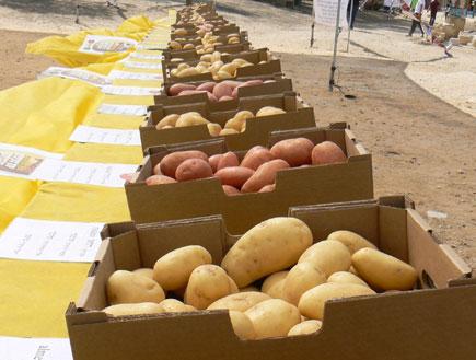 פסטיבל תפוחי אדמה - חבל הבשור2 (צילום: לבנת גינזבורג,  יחסי ציבור )