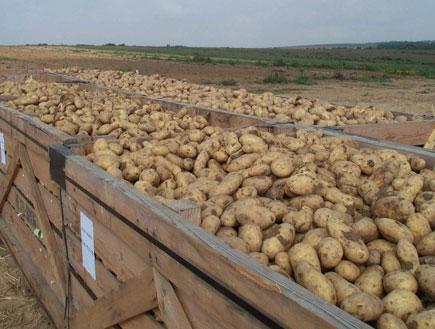 פסטיבל תפוחי אדמה - חבל הבשור3 (צילום: לבנת גינזבורג,  יחסי ציבור )
