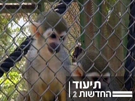 הקופים הגיבורים (צילום: חדשות 2)