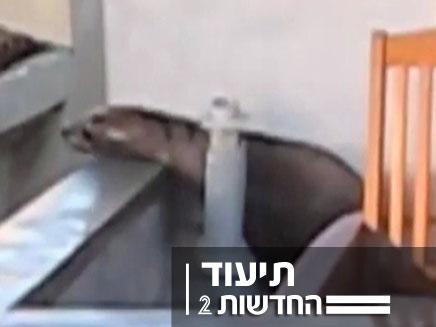 כלב ים בבית פרטי בלוס אנג'לס (צילום: חדשות 2)