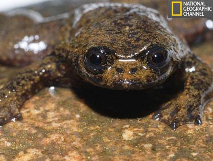 צפרדע חסרת ריאות (צילום: האתר הרשמי national geographic)