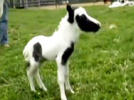 הסוס הקטן בעולם (צילום: Sky news)