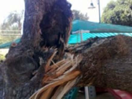 עץ נפל בגן ילדים (צילום: חדשות 2)