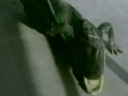 צפו: התנין שנלכד בפלורידה (צילום: חדשות 2)