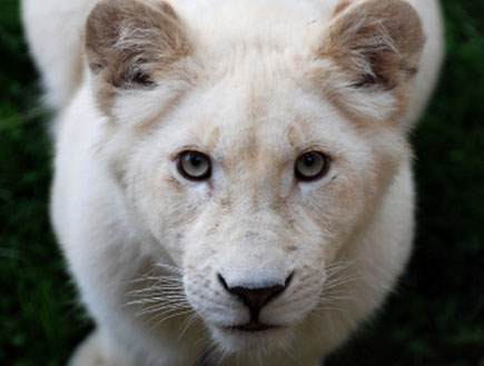 גור אריה לבן (צילום: istockphoto)