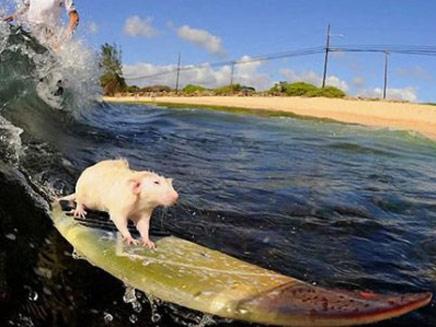 עכברים תופסים גלים (צילום: popfi.com)