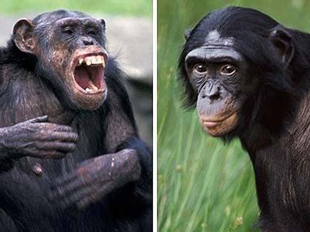 הבונובוס והשימפנזים. גם במונדיאל הם דומים לנו (צילום: טלגרף)