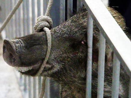 צפו בחזיר משתחרר - ונמלט (צילום: חדשות 2)