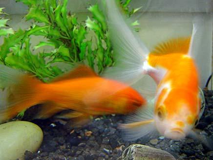 צפו: דג זהב בשלוק אחד (צילום: דניאל נחמיה, חדשות 2)