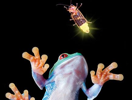 צפרדע וגחלילית (צילום: אלי אופיר, טבע הדברים)