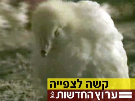 אפרוח קטום (צילום: חדשות 2)