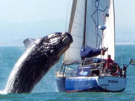הלוויתן מתרומם מעל הספינה (צילום: טלגרף)