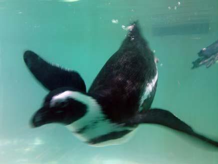 פינגווין (צילום: חדשות 2)