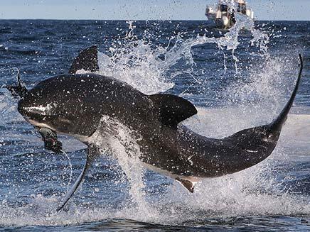 לכלב הים לא היה סיכוי. כריש לבן בפעולה (צילום: הסאן)
