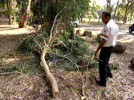 הענף שהרג את הנער (צילום: חדשות 2)