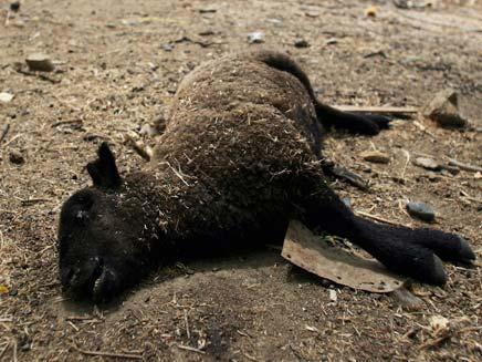 הנקמה: פגר של כבש. אילוסטרציה (צילום: reuters)