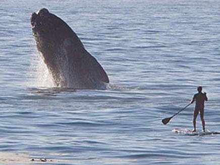 הלווייתן מזנק מהמים (צילום: הסאן)