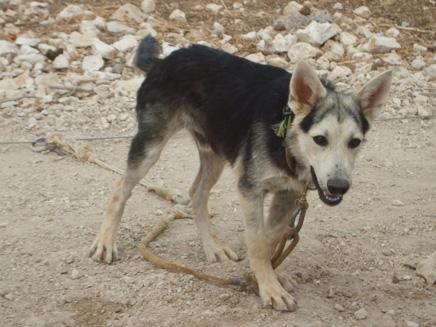 אחד מהכלבים שאותרו בחווה (צילום: נירית ציפורי)