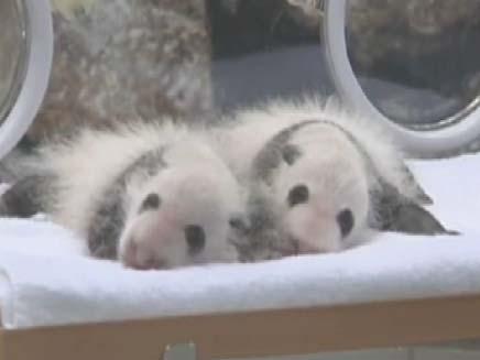 גורי פנדה שנולדו ביפן (צילום: חדשות 2)