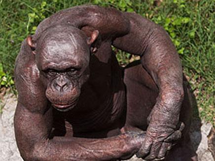 שימפנזה ללא שיער (צילום: BARCROFT MEDIA)