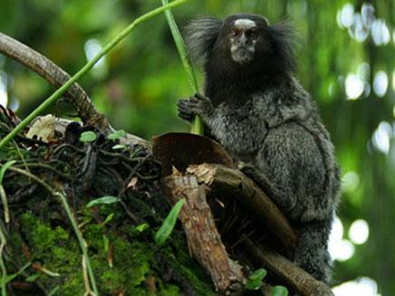 קוף ריו אקארי (צילום: טלגרף)