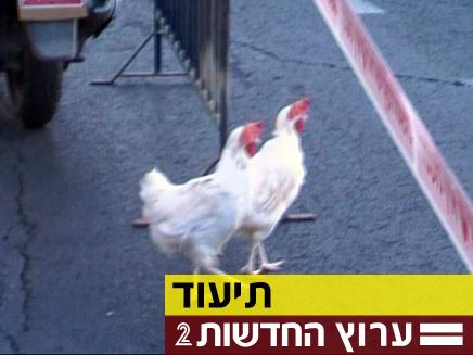 """התרנגולות מול בית רה""""מ (צילום: חדשות 2)"""