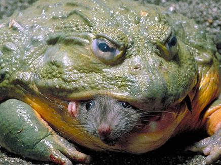 צפרדע אוכלת עכבר (צילום: הסאן)