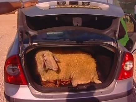 כבש בתא המטען. כך קונים מוצרי חשמל בטבריה (צילום: חדשות 2)