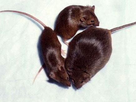 עכברי הניסוי השמינו (צילום: טלגרף)