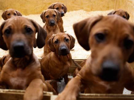 גורי כלבים. אילוסטרציה (צילום: AP)