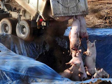צפו: קוברים את החזירים בקוריאה (צילום: סקיי ניוז)