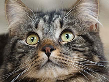 """לשם השוואה: חתול רגיל שוקל  3-5 ק""""ג (öéìåí: סאן)"""