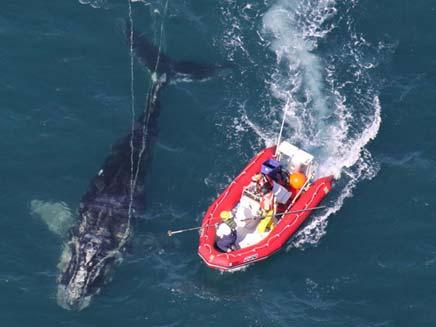 הלווייתנית - וסירת החילוץ (צילום: סאן)