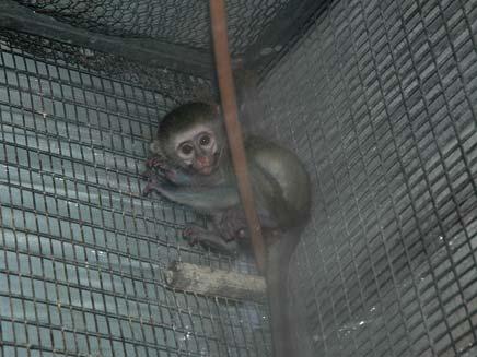 קוף גנוני נתפס ביפו, היום (צילום: בלשי מרחב יפתח)