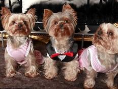 כלבים מפונקים