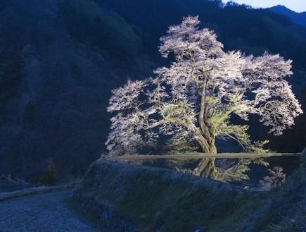 עץ פורח מעל הנהר יפן (צילום: ארגון התיירות הלאומי ביפן, האתר הרשמי)