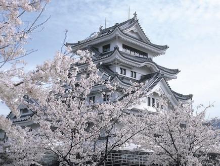 פריחה לבנה יפן (צילום: ארגון התיירות הלאומי ביפן, האתר הרשמי)