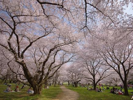 פריחת דובדבן בפארק יפן (צילום: ארגון התיירות הלאומי ביפן, האתר הרשמי)