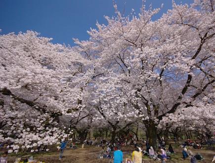 פריחת הדובדבן יפן (צילום: ארגון התיירות הלאומי ביפן, האתר הרשמי)