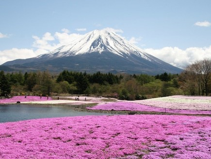 פריחה ורודה על רקע הר מושלג יפן (צילום: ארגון התיירות הלאומי ביפן, האתר הרשמי)