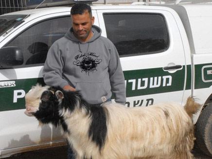 התיש הגנוב הושב לבעליו (צילום: משטרת ישראל)