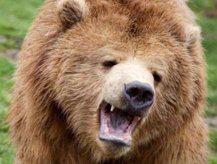 דוב גריזלי שואג (צילום: Jeff Strauss, Istock)