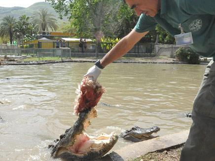 """דוד מעניק """"נשנוש"""" לאחד התנינים הרעבים (צילום: חדשות 2)"""