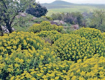 פריחה צהובה- געש של פריחה (צילום: יותם יעקובסון, גלובס)