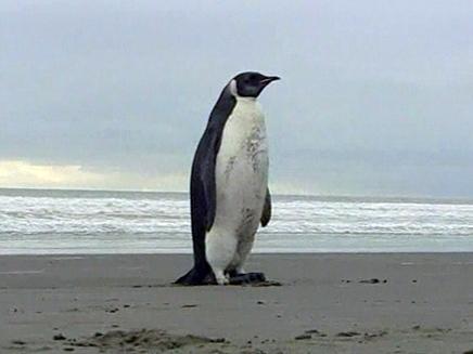 הפינגווין הצעיר בחוף הים (צילום: חדשות 2)