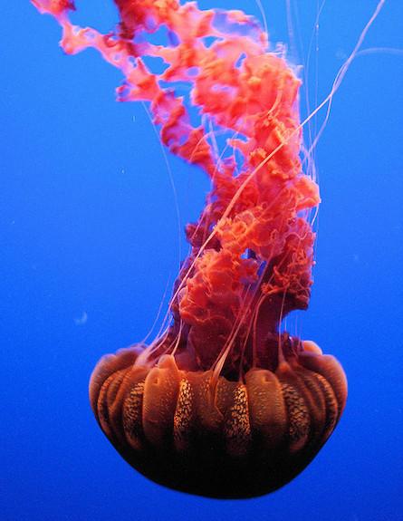 מדוזת סרפד הים השחור